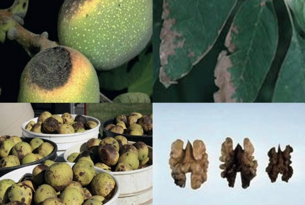 Najčešće bolesti oraha